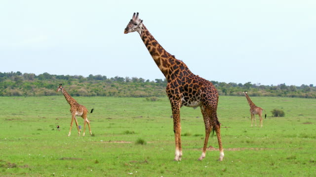 Masai Giraffes & Grey Crowned Crane Feeding Maasai Mara  Kenya  Africa