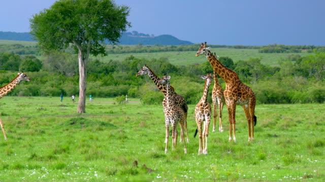 Masai Giraffes & People Playing Football Maasai Mara  Kenya  Africa