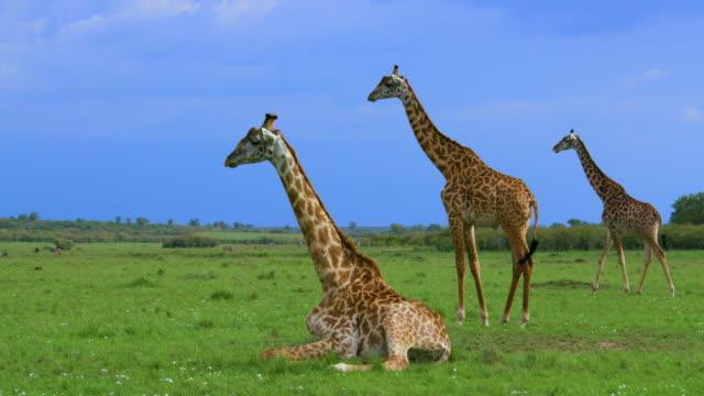 vídeos y material grabado en eventos de stock de masai giraffes sitting  standing & walking maasai mara  kenya  africa - jirafa