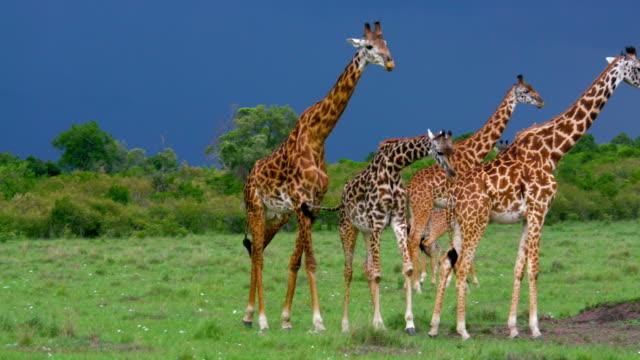 vídeos de stock, filmes e b-roll de masai giraffes walking maasai mara  kenya  africa - girafa