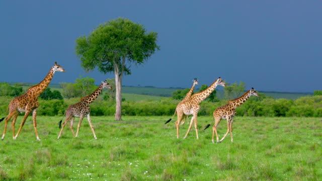 masai giraffes walking maasai mara  kenya  africa - giraff bildbanksvideor och videomaterial från bakom kulisserna