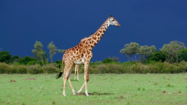Masai Giraffes Walking Maasai Mara  Kenya  Africa