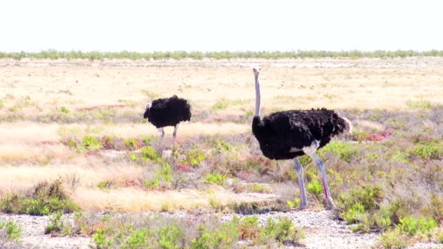 vídeos y material grabado en eventos de stock de ls masai avestruces en áfrica savannah - estepa