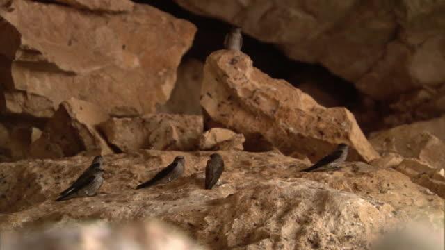 vídeos de stock, filmes e b-roll de mascarene martins (phedina borbonica) take off in mitoho cave, madagascar - grotto cave