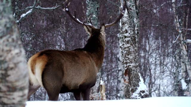 stockvideo's en b-roll-footage met maschio di cervo rosso nella neve - berk