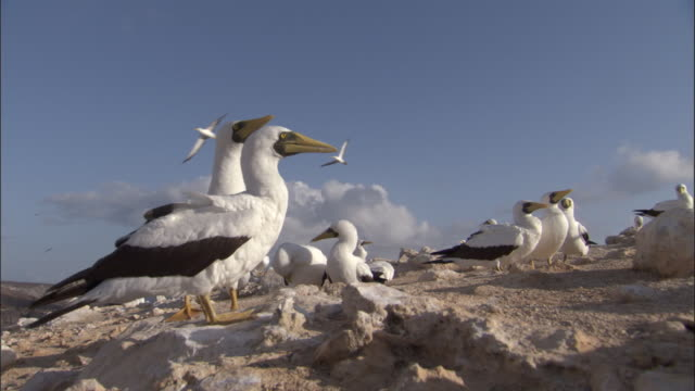 Masked boobies (Sula dactylatra) in nesting colony, Ascension Island
