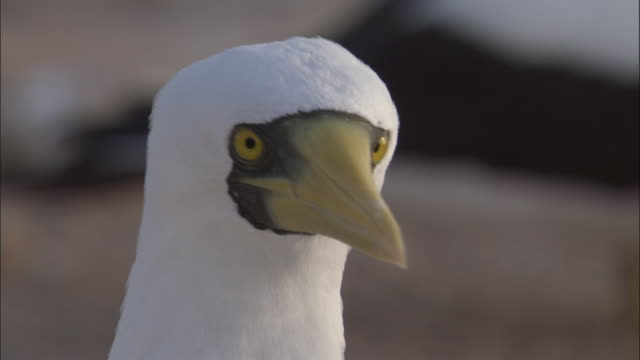 masked boobies (sula dactylatra) in nesting colony, ascension island - sea bird stock videos and b-roll footage