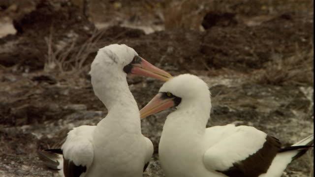 masked boobies rub beaks together and preen. - booby stock videos & royalty-free footage
