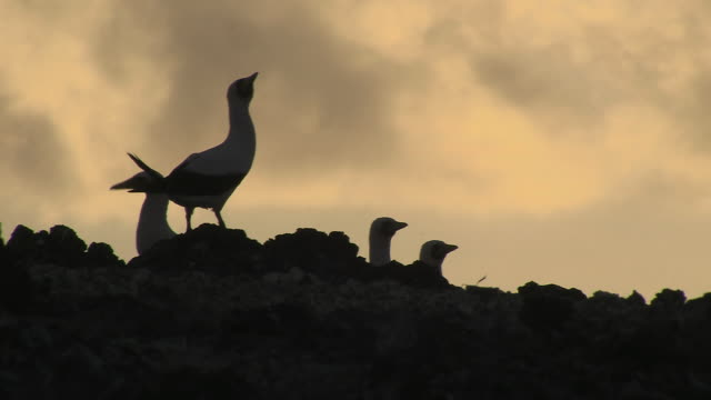 masked boobies silhouetted at sunset, ascension island - booby stock videos & royalty-free footage
