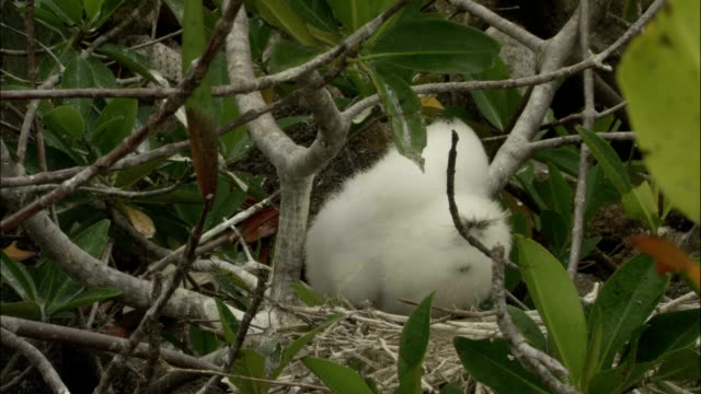 a masked booby chick sits in a nest. - bird's nest stock videos & royalty-free footage