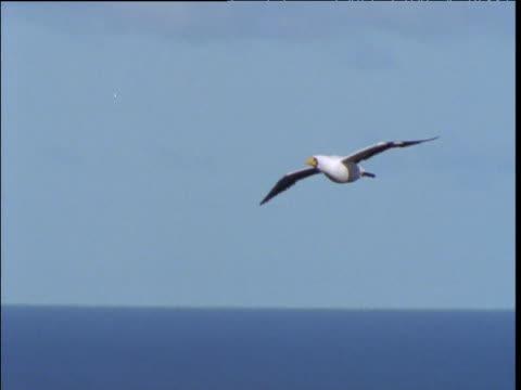 masked booby glides over sea, lord howe island - utfällda vingar bildbanksvideor och videomaterial från bakom kulisserna
