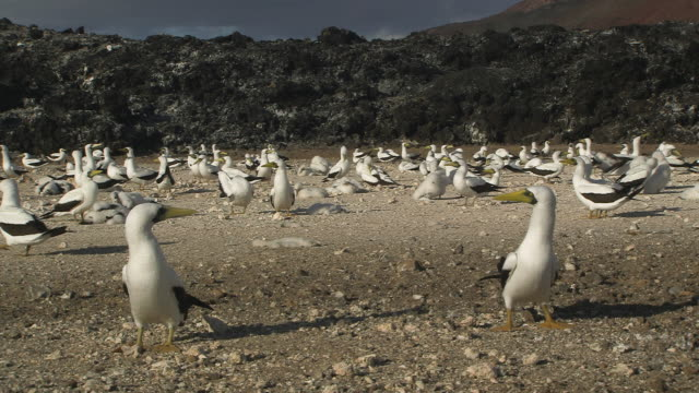 masked booby nesting colony, ascension island - booby stock videos & royalty-free footage