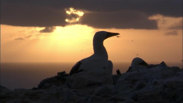masked booby (sula dactylatra) nesting colony at sunrise, ascension island - sea bird stock videos and b-roll footage