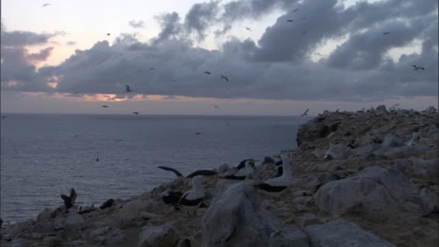 Masked booby (Sula dactylatra) nesting colony at sunrise, Ascension Island