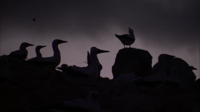 Masked booby (Sula dactylatra) nesting colony at sunrise, Ascension Island
