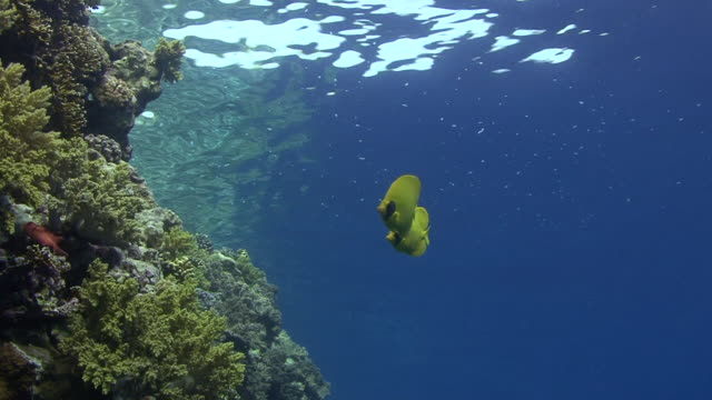 masked butterflyfish - butterflyfish stock videos & royalty-free footage