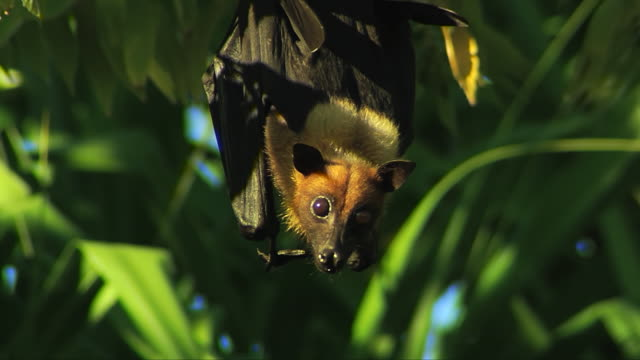 MS Masked Flying Fox (Pteropus vampyrus) or Fruit bat amidst green leaves on tree then flying off / South Africa
