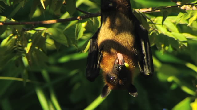 MS Masked Flying Fox (Pteropus vampyrus) or Fruit bat  turning towards with spitting out fruit and climbing further alongs tree branches / South Africa