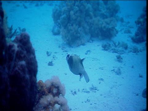 Masked Puffer fish swims around reef