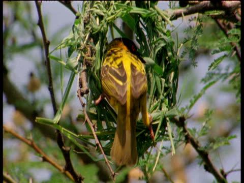 masked weaver bird constructs grass nest - erektion stock-videos und b-roll-filmmaterial
