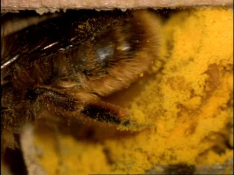BCU Mason Bee (Osmia rufa) in nest, preparing pollen & nectar store, turnas and lays egg, UK
