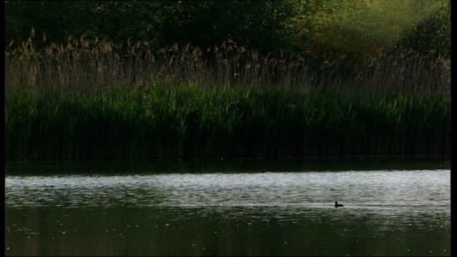 mass accommodation facilities in dortmund; views across lake / ducks swimming along next rushes / more general views of lake - aquatic organism stock videos & royalty-free footage