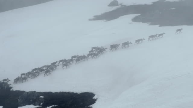 Mass migration of caribou stampede up a mountain
