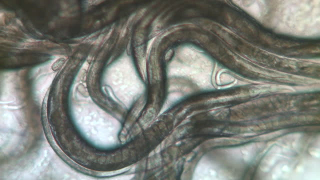Mass of Caenorhabditis elegans nematodes feeding on bacteria (Escherischia coli OP50 strain) Olympus BH-2 microscope Leitz 6.3X Plan Apochromat objective, NFK 2.5 X photoeyepiece, no condenser. Horizontal field of view 1 mm.