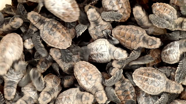 a mass of hawksbill turtle hatchlings squirm on top of one another. - hawksbill turtle stock videos & royalty-free footage