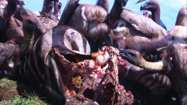 CU mass of vultures picking frantically at zebra carcase close to camera