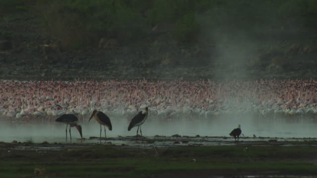 massed flamingoes with african fish eagle marabou stork and steam from geysers - african fish eagle stock videos & royalty-free footage