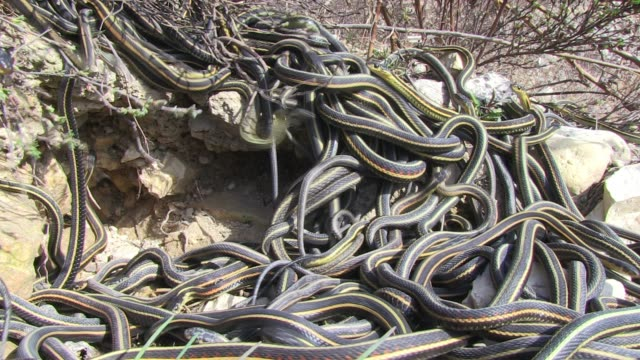 cu massed garter snakes tumble into mating ball on rocky hillside - large group of animals stock videos & royalty-free footage