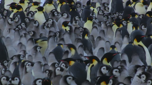 ms massed group of emperor penguins and large chicks filling frame and shuffling about / dumont d'urville station, adelie land, antarctica - large group of animals stock videos & royalty-free footage