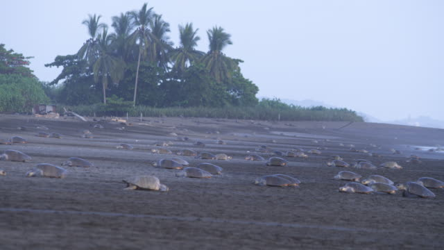 ws massed group of female olive ridley turtles crawling up and down beach with trees in background - large group of animals stock videos & royalty-free footage
