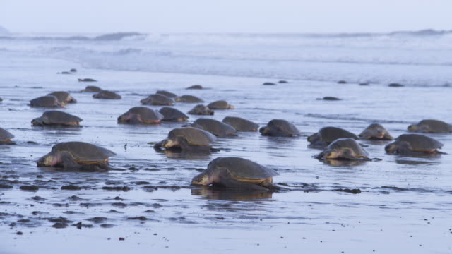 ws massed group of female olive ridley turtles crawling up beach  - large group of animals stock videos & royalty-free footage