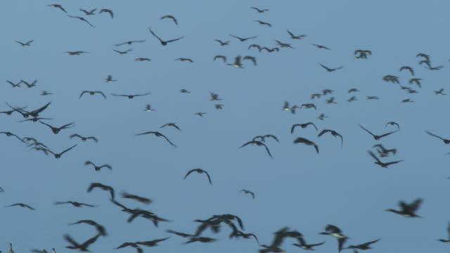 stockvideo's en b-roll-footage met la massed guanay cormorants flying against blue sky - cormorant