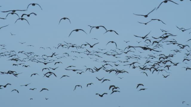 stockvideo's en b-roll-footage met cu massed guanay cormorants flying against blue sky - cormorant