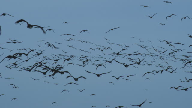 vídeos y material grabado en eventos de stock de cu massed guanay cormorants flying against blue sky - colonia grupo de animales
