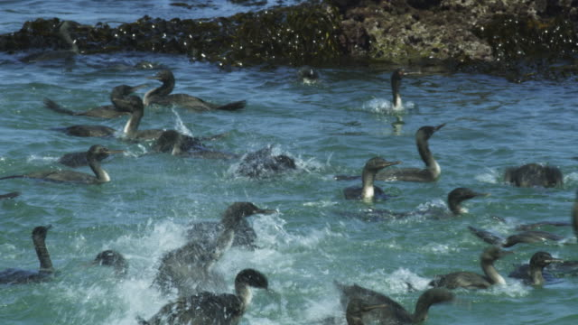 cu massed guanay cormorants splashing in surf - animals in the wild stock videos & royalty-free footage
