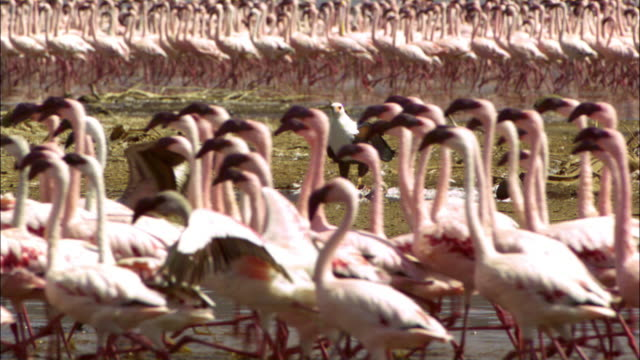 SLOMO massed Lesser Flamingoes walk in front of African Fish Eagle on ground