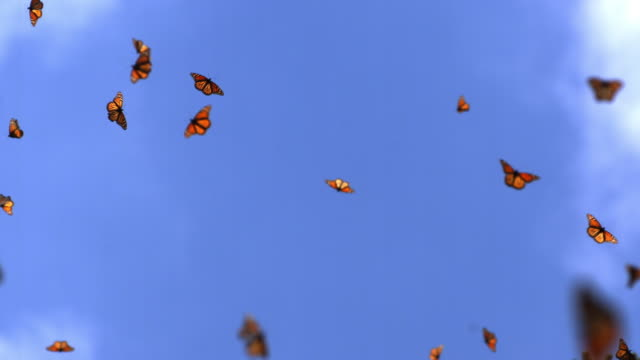 slomo la massed monarch butterflies flying against clear sky - butterfly stock videos & royalty-free footage