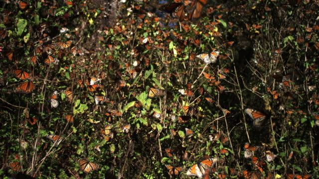 slomo la tu massed monarch butterflies flying and on trees - michoacán video stock e b–roll