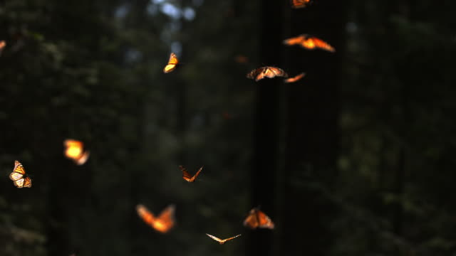vidéos et rushes de slomo massed monarch butterflies flying in clearing with dark background - papillon