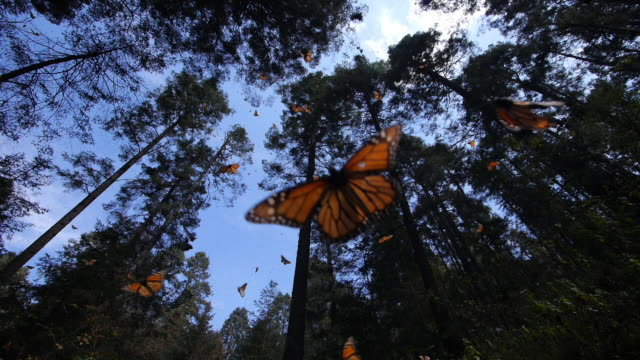 la ws massed monarch butterflies on trees with others flying in clearing - migrazione animale video stock e b–roll