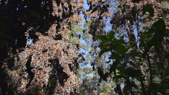 la ws massed monarch butterflies on trees with others flying in clearing - michoacán video stock e b–roll