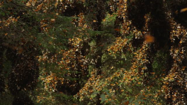 ws tu massed monarch butterflies on trees with others flying in foreground - farfalla monarca video stock e b–roll