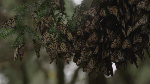cu massed resting brown monarch butterflies on tree branch - monarch butterfly stock videos & royalty-free footage