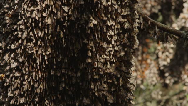 cu tu massed resting brown monarch butterflies on tree trunk - monarch butterfly stock videos & royalty-free footage
