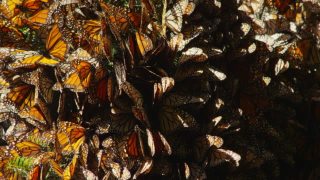vídeos de stock, filmes e b-roll de cu massed resting monarch butterflies on tree branch and flapping wings - grupo grande de animais
