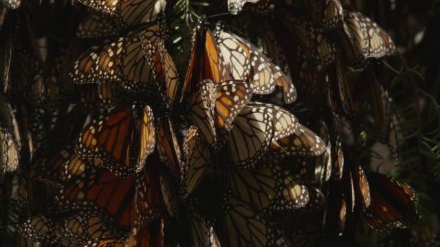 cu massed resting monarch butterflies on tree branch spreading wings - farfalla monarca video stock e b–roll